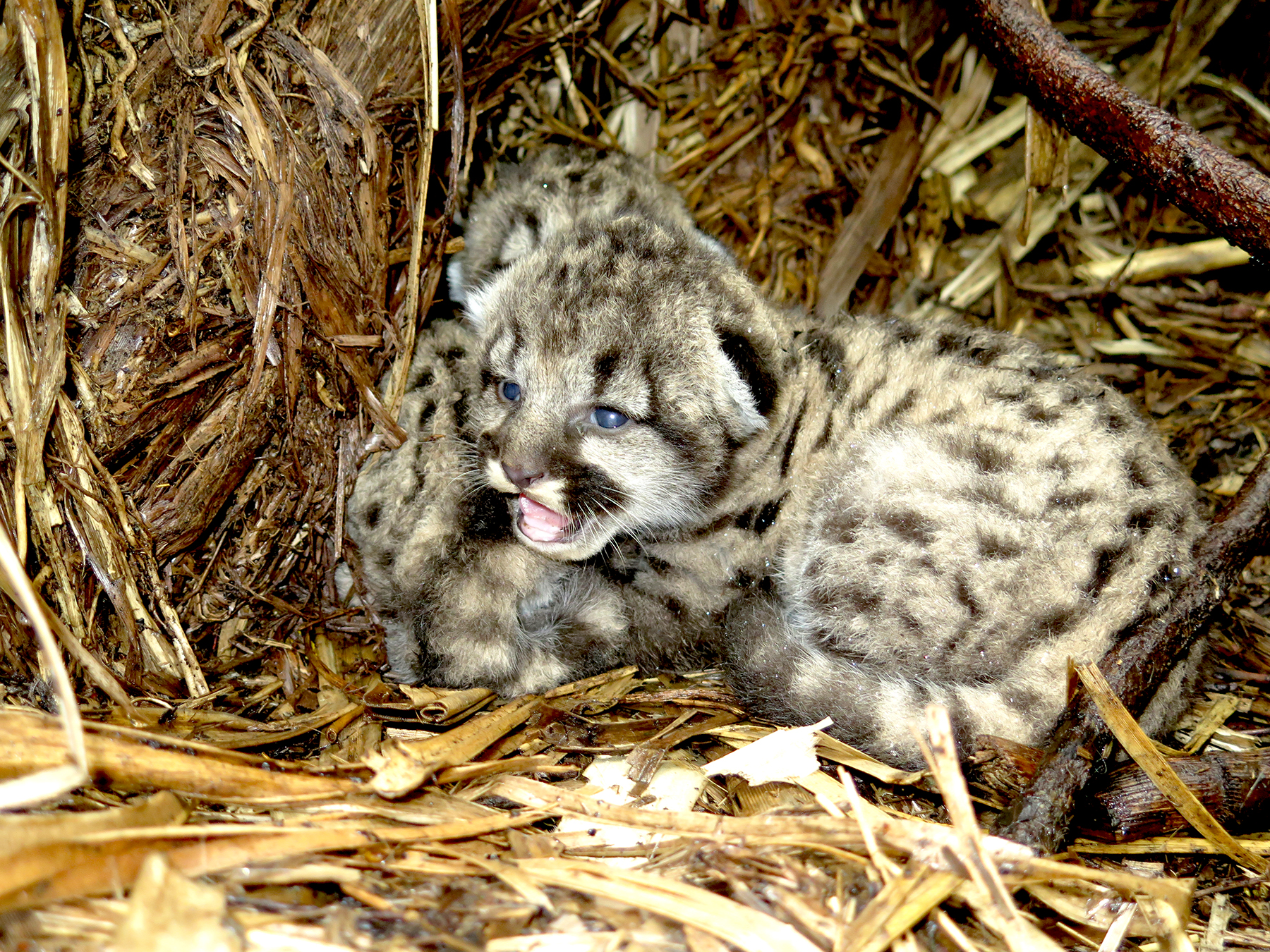 10-day-old mountain lion kittens - copyright Audubon Canyon Ranch egret.org