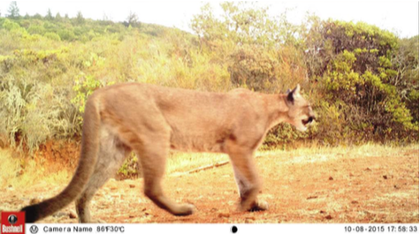 Female mountain lion on the move at Bouverie Preserve, October 2015