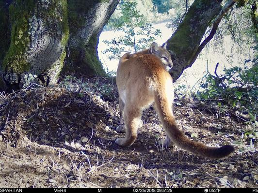 Living with Lions: ACR's mountain lion research and