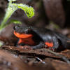 Red-bellied newt at Bouverie Preserve, photo by Ron Berchin